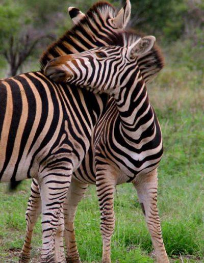 Botswana_182.2_zebra