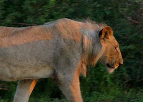 Botswana_183.2_lion