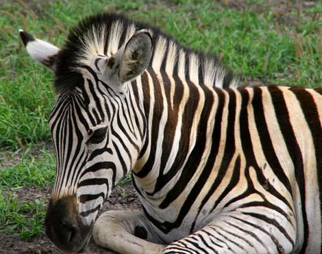 Botswana_185.2_zebra