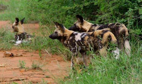 Botswana_188.2_dogs