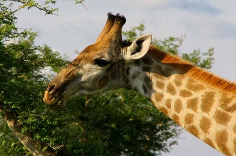 Botswana_191.3_giraffe