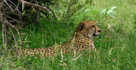 Botswana_215.2_cheetah