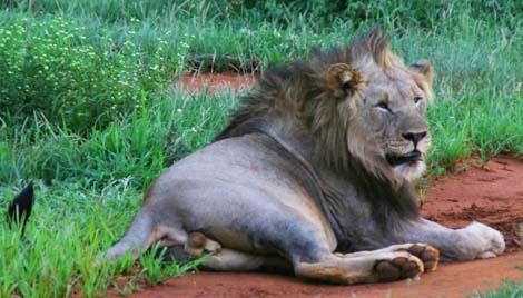 Botswana_male_lion_4