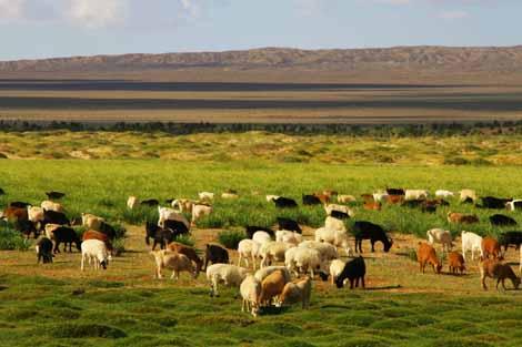 Mongolia_371_sheep