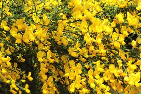 Brazil 175 2 Bariloche yellow flowers