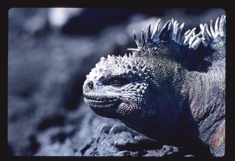 Galapagos_iguana