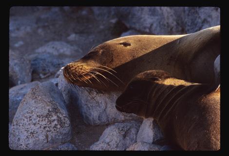 Galapagos_sea_lions