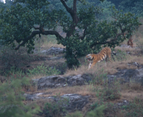 India_tiger