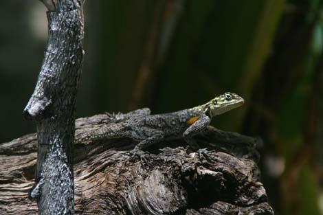 Namibia_090.2_lizard