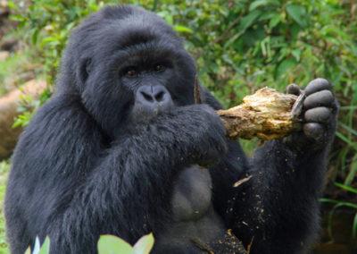 Rwanda_275_r_gorila_chewing