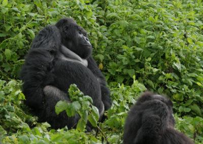 Rwanda_281_r_silberback