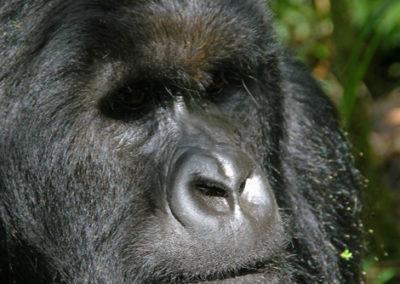 Rwanda_283_r_gorila_closeup
