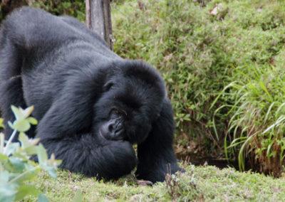 Rwanda_286_r_gorila_bending_over