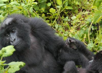Rwanda_287_r_bald_gorila