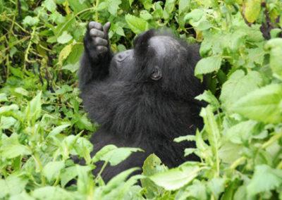Rwanda_288_bald_gorila_cleaning_nails