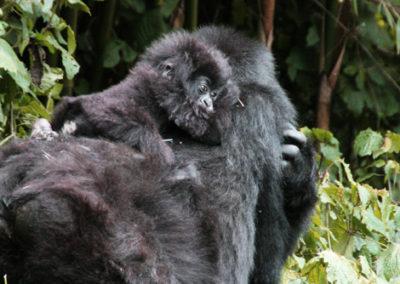 Rwanda_297_r_gorila_baby