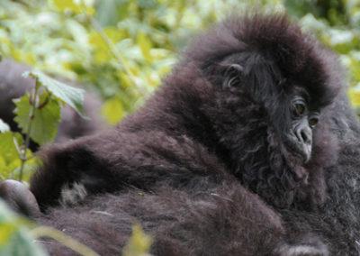 Rwanda_299_r_gorila_baby