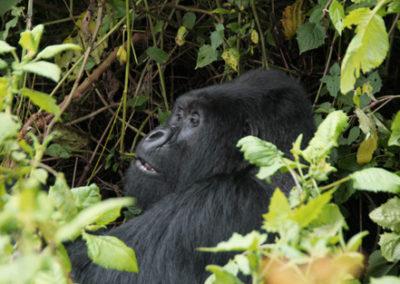 Rwanda_911_r_gorila_2