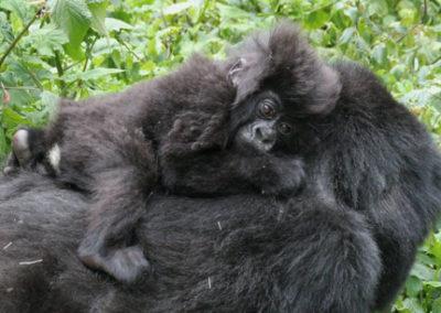 Rwanda_924_r_gorila_baby