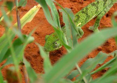 SouthAfrica_1042_chameleon